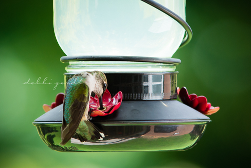 hummingbirds photography athens cleveland knoxville tn