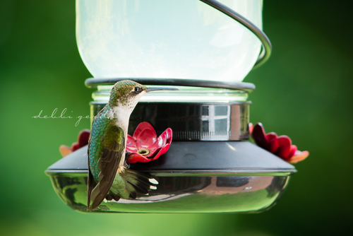 hummingbirds Cleveland Athens Knoxville Tennessee photographer