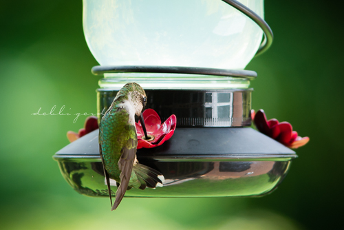 hummingbirds Athens Cleveland Knoxville TN photography