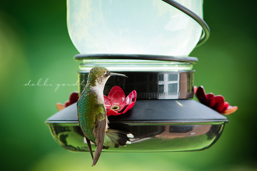 hummingbirds Photographer Athens Tennessee